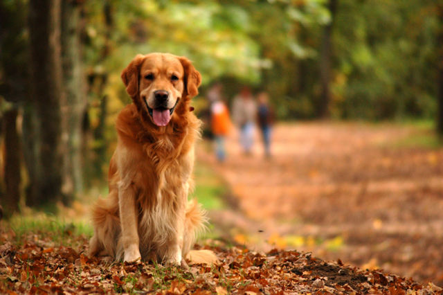 sitting-golden-retriever